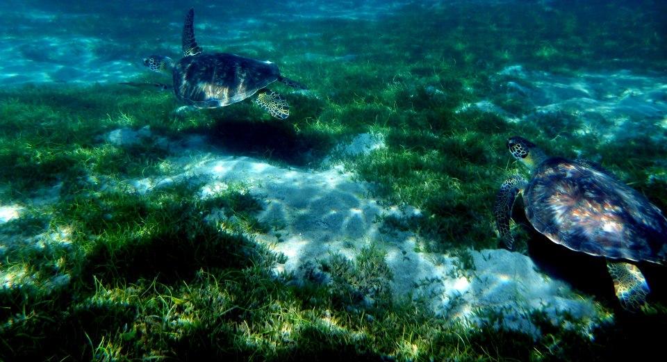 Nager avec des tortues Martinique