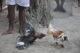 combat de coqs à l'îlet chevalier en Martinique