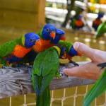 Zoo de Martinique - Des loriquets
